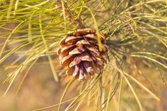 Singoli cono ed aghi del pino Immagini Stock Libere da Diritti