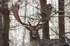 Singoli daini Daniel With Gorgeous Horns Standing in Forest Under First Snow Falling bielorusso Cervi rilassati e sguardo immagini stock libere da diritti