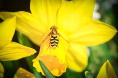 Singoli fiore e ape gialli del narciso della primavera Fotografie Stock Libere da Diritti