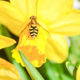 Singoli fiore e ape gialli del narciso della primavera Fotografia Stock Libera da Diritti