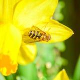 Singoli fiore e ape gialli del narciso della primavera Fotografie Stock