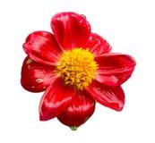 Singoli fiori con l'insieme della raccolta isolato gocciolina, concetti di stagione delle pioggie immagini stock