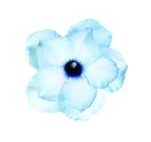 Singoli fiori dell'azalea Fotografia Stock