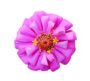 Singoli fiori o asteraceae rosa variopinti dolci di violacea di zinnia del petalo con la vista superiore luminosa del polline ros immagine stock