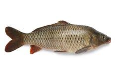 Singoli interi pesci della carpa Immagine Stock Libera da Diritti