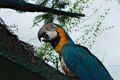 Singoli pappagalli gialli blu che si siedono su un ramo con il becco aperto Fotografia Stock