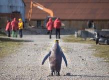 Singoli pinguino di re e turista di crociera in Grytviken, Georgia del Sud Fotografia Stock