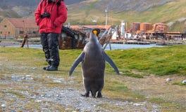 Singoli pinguino di re e turista di crociera in Grytviken, Georgia del Sud Fotografia Stock Libera da Diritti