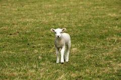 Singolo agnello Fotografie Stock