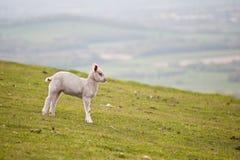 Singolo agnello della sorgente nel campo immagine stock libera da diritti