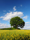 Singolo albero Immagini Stock Libere da Diritti