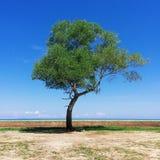 singolo albero che sta con il cielo blu Immagini Stock