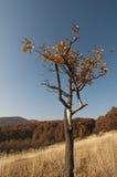 Singolo albero con i fogli colorati Immagini Stock
