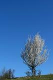 Singolo albero del fiore della ciliegia bianca della cera contro chiaro tempo del cielo blu in primavera Fotografie Stock