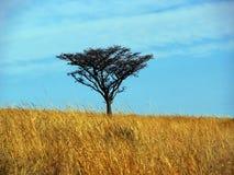 Singolo albero della spina nel campo di erba Immagine Stock Libera da Diritti