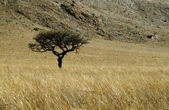 Singolo albero della spina nel campo di erba con la montagna Fotografie Stock Libere da Diritti