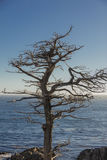 Singolo albero di Cypress lungo un azionamento California da 17 miglia Fotografia Stock