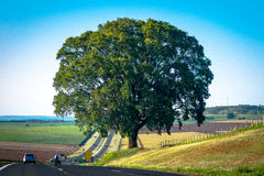 Singolo albero di quercia Fotografie Stock Libere da Diritti