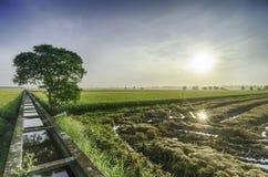 Singolo albero di vista scenica nel paesaggio medio della risaia durante l'alba Fotografia Stock