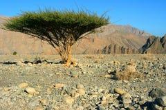 Singolo albero nel deserto di Omans Immagine Stock