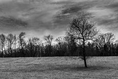 Singolo albero nudo nel campo, in bianco e nero Fotografia Stock Libera da Diritti