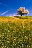 Singolo albero sbocciante in primavera. Immagini Stock Libere da Diritti