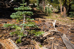 Singolo albero sempreverde della conifera Fotografia Stock