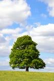 Singolo albero in un campo dei ranuncoli Fotografia Stock