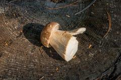 Singolo boletus del fungo di porcini edulis, porcino o bolete di re fotografia stock libera da diritti