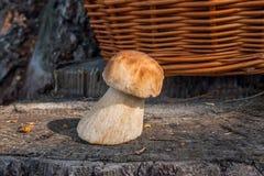Singolo boletus del fungo di porcini edulis, porcino o bolete di re su fondo di legno naturale fotografia stock libera da diritti