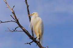Singolo bubulcus ibis dell'airone guardabuoi sull'albero morto fotografia stock libera da diritti