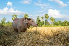 Singolo bufalo tailandese nel campo Fotografia Stock