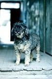 Singolo cane Fotografie Stock Libere da Diritti
