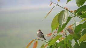 singolo canto di seduta del piccolo uccello che grida sul brsnch di verde Fotografie Stock