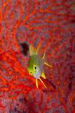Singolo cardinale Fotografia Stock Libera da Diritti