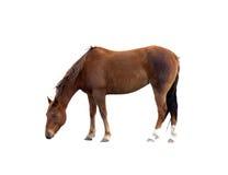 Singolo cavallo del Brown che pasce il percorso di residuo della potatura meccanica isolato Immagini Stock Libere da Diritti