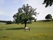 Singolo cavallo nel campo sotto l'albero Fotografie Stock Libere da Diritti