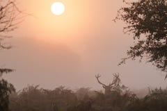 Singolo cervus elaphus del maschio dei cervi nobili che visualizza all'alba Fotografia Stock