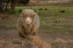 Singolo cibo delle pecore Immagini Stock Libere da Diritti
