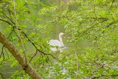 Singolo cigno bianco sul lago Fotografia Stock