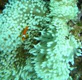Singolo Clownfish Immagine Stock Libera da Diritti