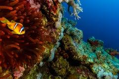 Singolo Clownfish accanto al suo anemone rosso su una parete della barriera corallina immagini stock libere da diritti