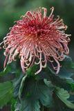 Singolo crisantemo Fotografie Stock Libere da Diritti