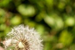 Singolo dente di leone con alcuni semi soffiati via su backgroun verde Fotografia Stock