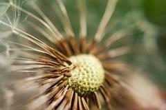 Singolo dente di leone con alcuni semi soffiati via su fondo verde Fotografia Stock