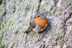 Singolo europeo adulto Robin Erithacus Rubecula fotografia stock libera da diritti