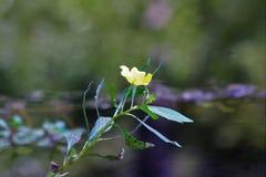 Singolo fiore acquatico giallo Fotografie Stock Libere da Diritti