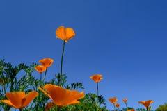 Singolo fiore arancio contro il cielo blu scuro Immagini Stock