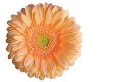 Singolo fiore arancio di gerbra Immagine Stock