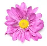 Singolo fiore del crisantemo Fotografie Stock Libere da Diritti